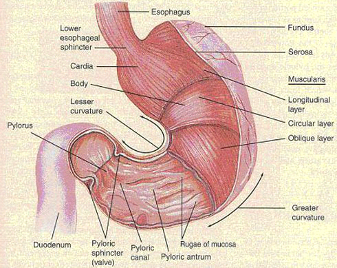 Stomach - interspeciesinfo